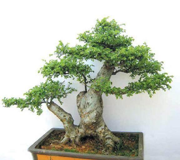 树桩盆景怎样生根的方法 图片