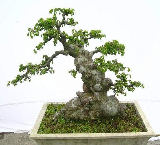 榆树盆景怎么设计制作的方法 图片