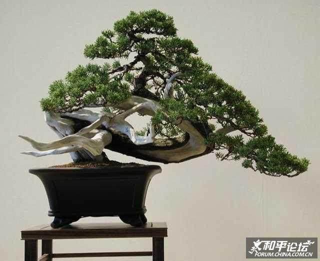 大阪松盆景移栽后怎么浇水才是最好的