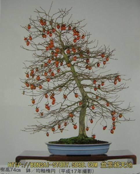 老鸦柿盆景的果型至少有不稳定的现象