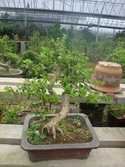 黄杨盆景老桩发芽保活有什么方法 图片