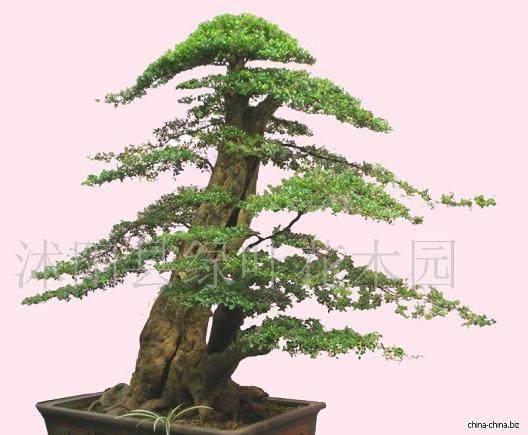 制作黄杨盆景的小知识有哪些 图片