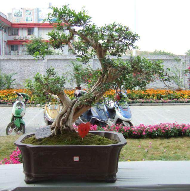 雀舌黄杨盆景怎么换盆养护的技巧
