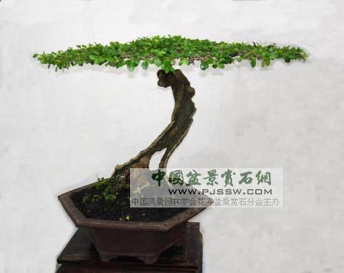 豆瓣黄杨盆景怎么发芽养护管理和观赏