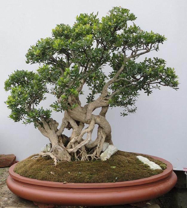 雀舌黄杨盆景生根发芽后怎么制作与培育