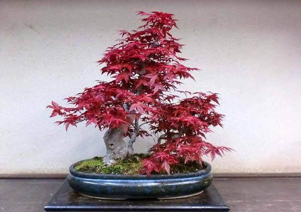 红枫盆景在春季发芽前怎么移栽的方法