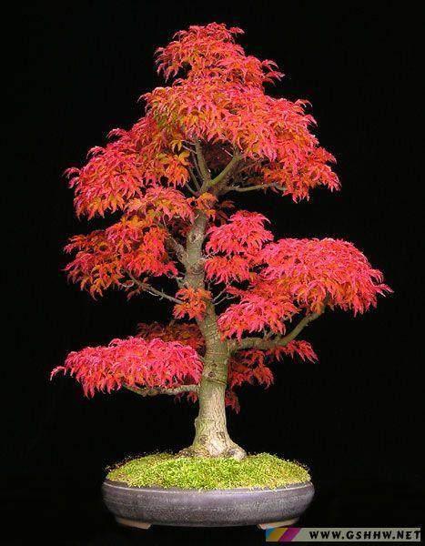 如何传播日本枫树盆景 图片