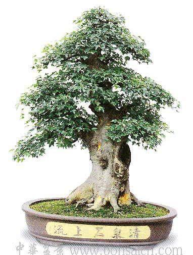 请问此种枫树可否用作盆景?