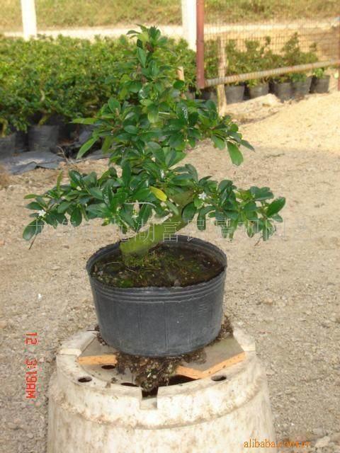 福建茶盆景如何快速提根的方法