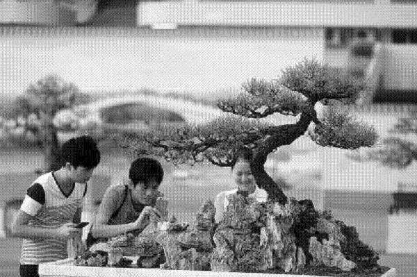 一棵苍翠挺拔的海岛罗汉松盆景日前也以200万元价格成交