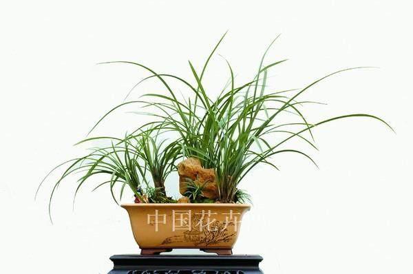 兰花盆景怎样用生根粉养护的方法