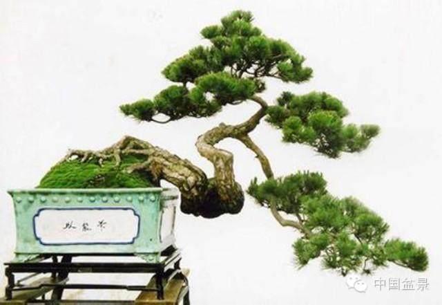 最靓盆景在东莞 海岛罗汉松估价千万