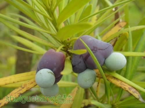 罗汉松的果实有何作用?能吃吗?