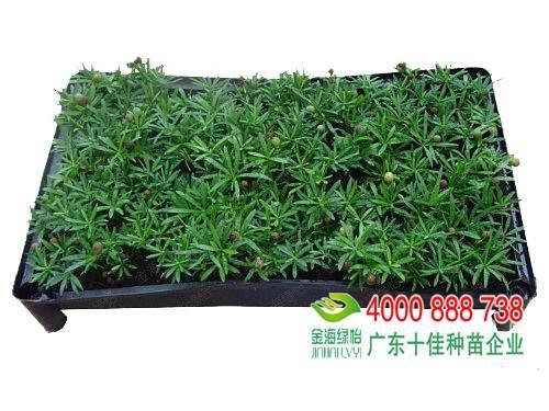 日本罗汉松苗繁殖方式与栽培方法
