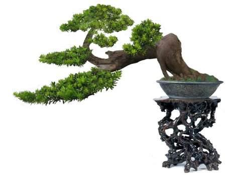 珍珠罗汉松盆景怎么栽培方法 图片