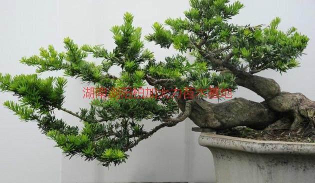 米叶罗汉松盆景怎么栽培养护 图片