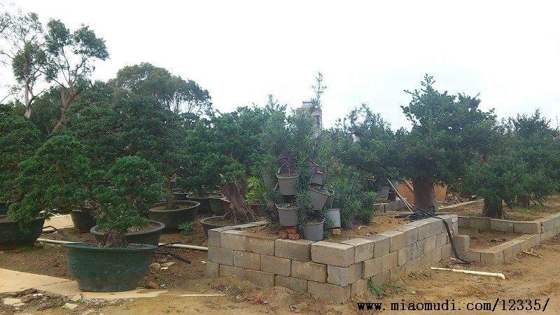北海罗汉松盆景怎样生根栽培技术