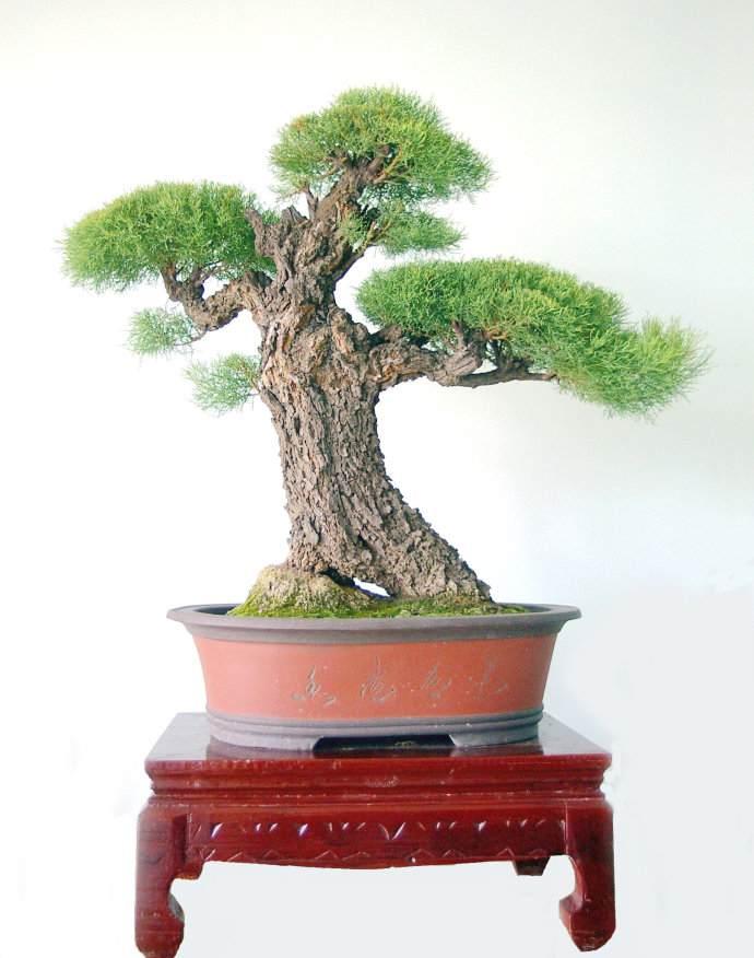 柽柳盆景怎样生根繁殖和栽培技术