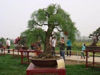 连根式柽柳盆景如何制作生根的方法