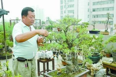 柽柳盆景在阳台上的种植方法