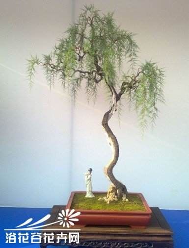 垂柳式柽柳盆景怎么制作体会