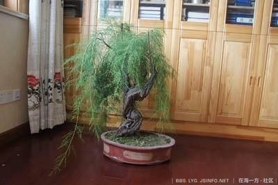 垂柳式柽柳盆景怎么制作的方法