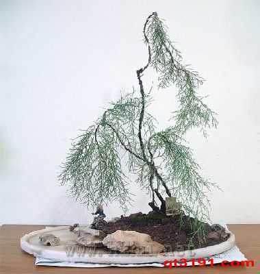 北方冬天室内怎么养护柽柳盆景