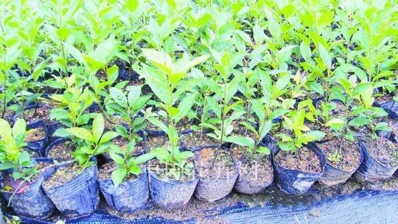 北美冬青盆景的生根处理与扦插方法