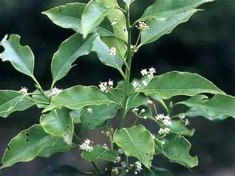 大叶冬青怎么育苗栽培的方法