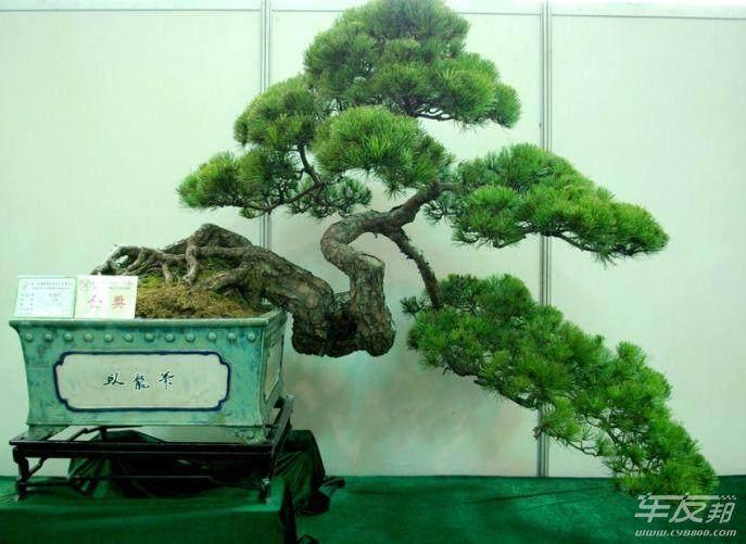 如何鉴赏树木盆景?