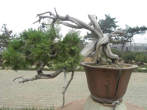 浅谈柏树盆景的造型