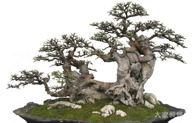 七里香树桩盆景停止生长 甚至发黄