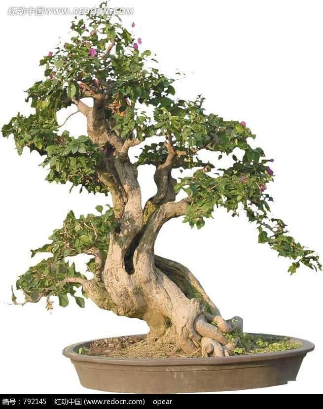 老树桩盆景应怎样栽植和发芽养护 图片
