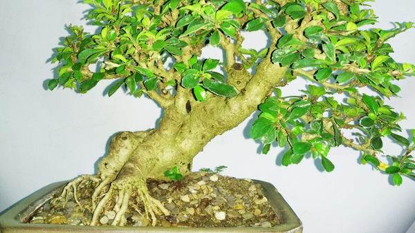 请问福建茶树盆景怎么养护与修剪