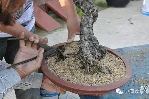 怎样给树桩上盆?