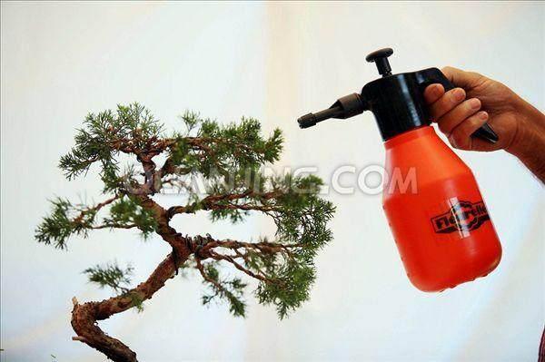 榕树盆景在冬天的施肥浇水有技巧