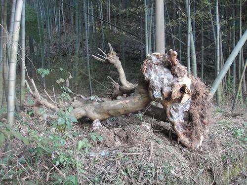 山采树桩盆景生根成活的五忌