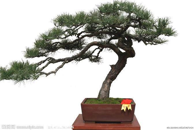 养护树桩盆景怎么避免折枝的方法