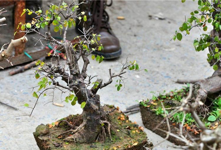 树桩盆景怎样进行选盆的方法