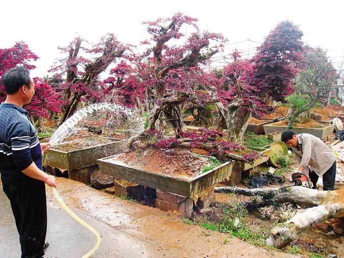 盆景树桩年龄怎么辨认的方法
