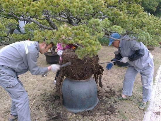 树桩盆景的新生根怎样施肥 图片