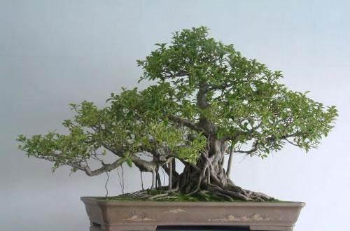 树桩盆景四季施肥的3个方法