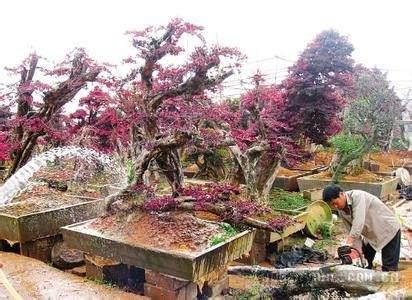 树桩怎样进行选土和栽种?