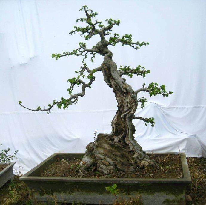 树桩盆景根部怎么处理的3个方法