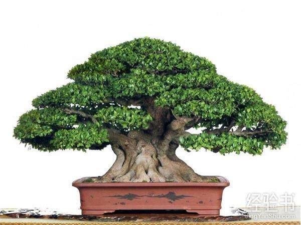 气根榕树盆景怎么生根发芽才快 图片