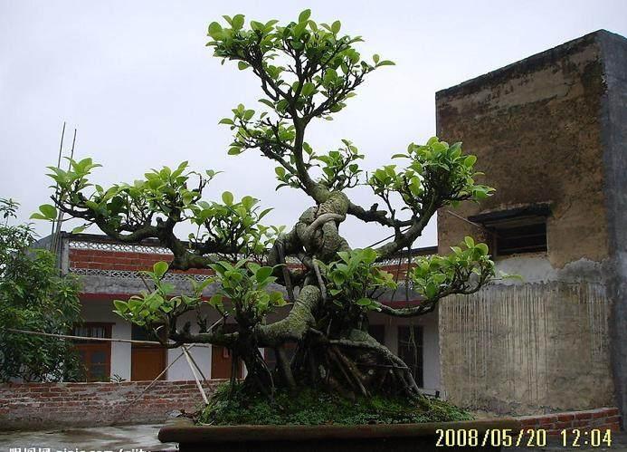 榕树盆景在秋季z怎么剪枝养护的方法