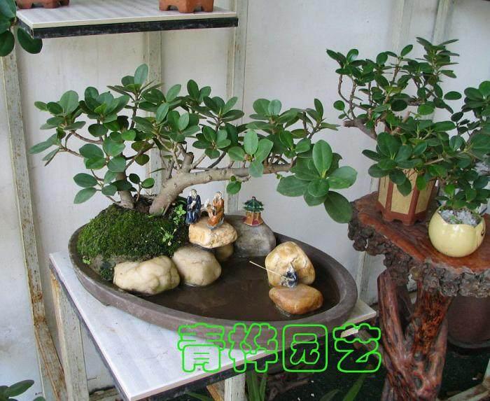 提动式榕树水培盆景的制作经过与体会