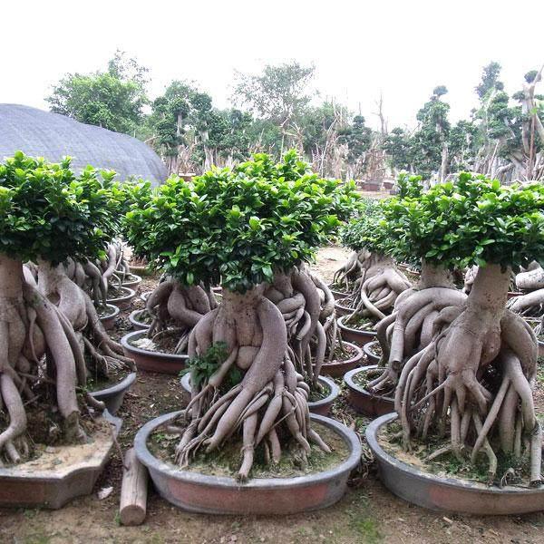 气根榕树盆景怎么修剪施肥的方法
