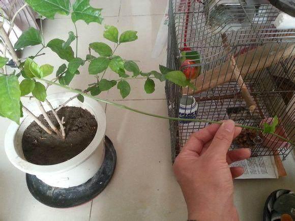 压环剥法 盆景生根后的改造方法