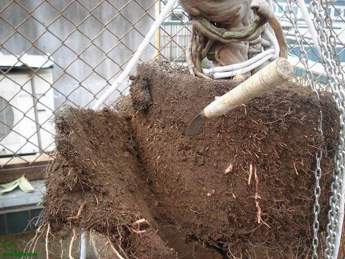 老桩盆景怎样翻盆换土的方法 图片